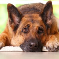 Michigan Approves $360 in Weekly Unemployment to a German Shepherd
